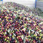 Carico olive e trasporto in frantoio