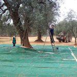 Raccolta e abbacchiatura olive