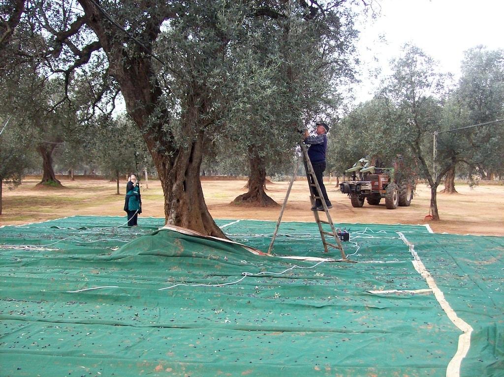 Raccolta olive nel salento in provincia di lecce schirinzi for Raccolta olive periodo