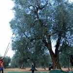 Raccolta delle olive dall'albero Schirinzi