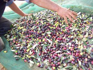 Olive media maturazione per produrre l'Olio Santa Lucia - Migliore olio salentino equilibrato