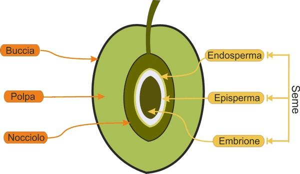 Caratteristiche dell'ulivo e delle olive
