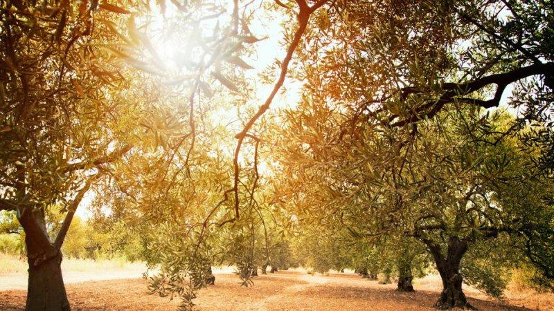 In Puglia ecco la vendita diretta olio extravergine di oliva online