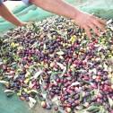 Foto raccolta delle olive