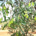 Polifenoli nell'olio extravergine di oliva pugliese
