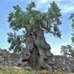 La Xylella fastidiosa tra gli ulivi in Puglia