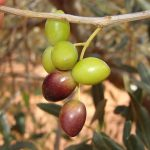 Acquistare olive in Puglia per olio