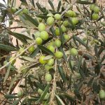 Acquisto olive per produzione olio di oliva