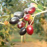 Acquisto olive salentine a Lecce