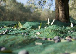 Olivagione 2017/2018: cosa aspettarsi dalla raccolta delle olive