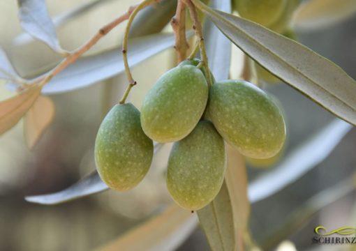 Ottima qualità per le olive campagna 2017/18, ecco le Foto!