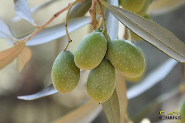 Ottima qualità delle olive campagna olearia 2017/2018 - le foto