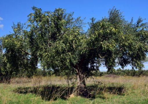 Nel 2018 approvato il disciplinare Olio IGP Puglia