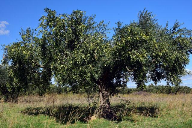 Olio extravergine IGP Puglia