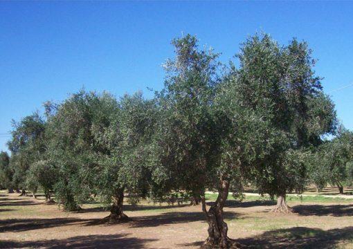Caratteristiche olio extravergine da olive Leccine