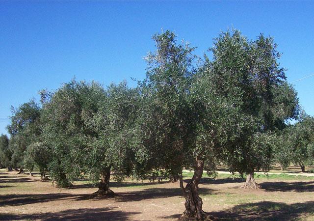 Olio extravergine di olive leccine del Salento