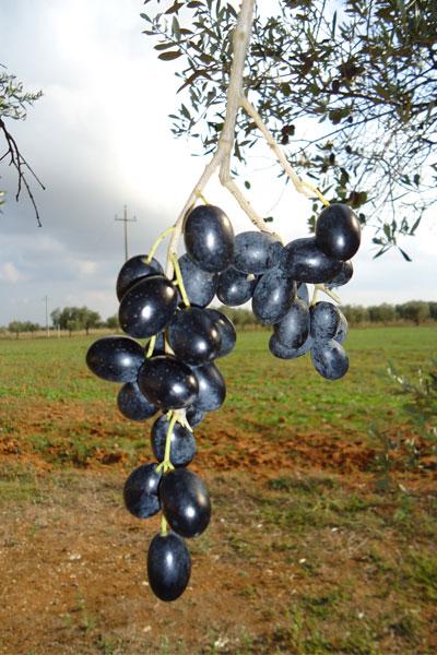Olive Leccine dell'Azienda Agricola Schirinzi del Salento