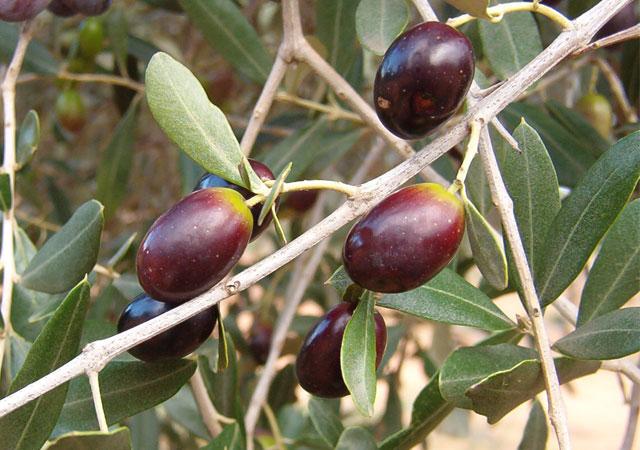 Frutto olive varietà leccine