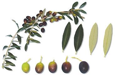 Il colore delle olive in base alla maturazione