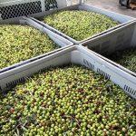 Raccolta olive in Puglia, al via la campagna 2018-2019