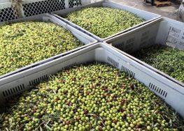 Raccolta olive in Puglia: al via la campagna olearia 2018-2019