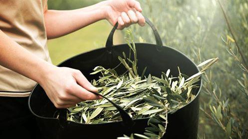 Preparare estratto foglie ulivo