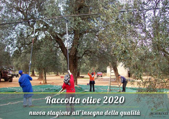 Raccolta olive 2020 stagione all'insegna della qualità